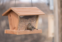 A Female House  Finch At Our Feeder In New Mexico.