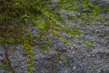 Moss Growing On Rock, Close-up