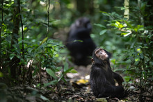 Chimpanzee's In The Forest