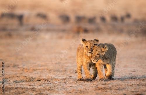 Lion Cubs Canvas-taulu