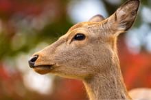 Closeup Of Young Baby Deer Faw...