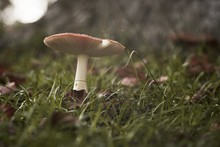 Closeup Shot Of A Mushroom In A Grassy Field On A Blurred Background