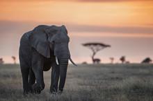 Elelphant In The Serengeti