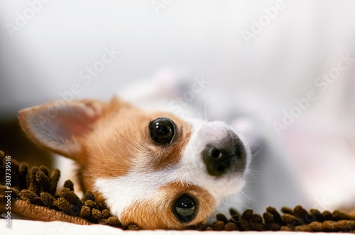 Cute young dog lazy lying on sofa couch with sleepy eyes Canvas Print