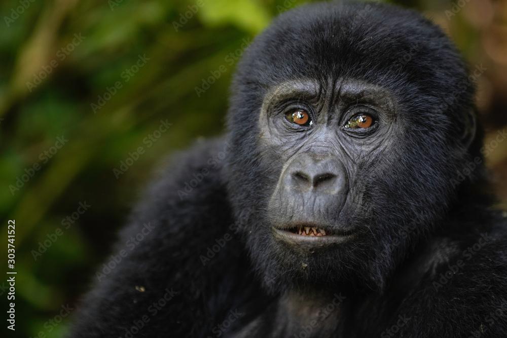 Fototapeta Mountain Gorilla