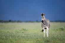Rainy Zebra