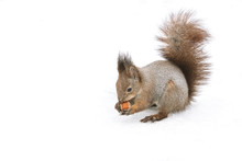 Fluffy Red Squirrel Eating Nut...