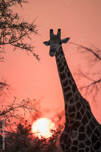 Giraffe Sunset Wallpaper Mural