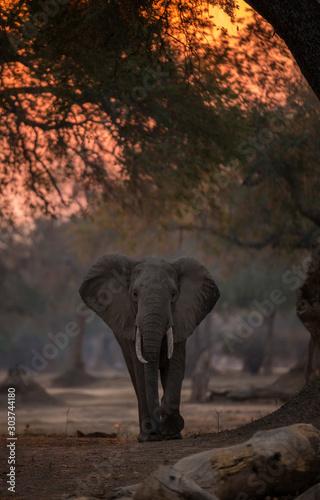 Photo elephant at sunset