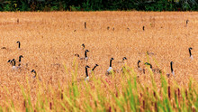 Canada Geese In Tall Autumn Gr...