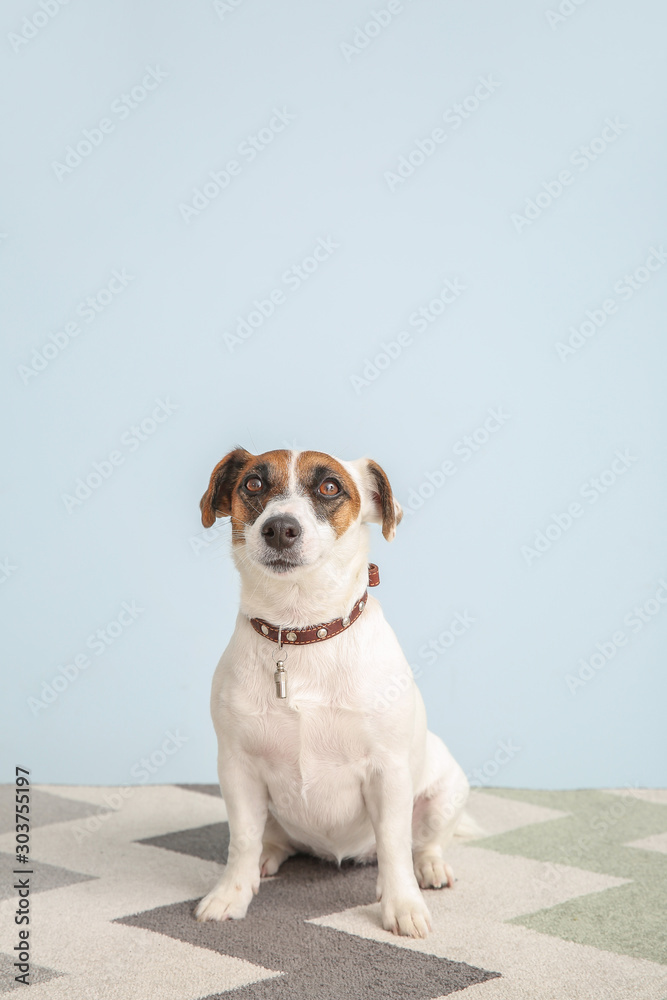 Cute Jack Russell Terrier on color background