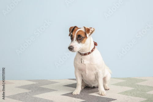 Cute Jack Russell Terrier on color background Wallpaper Mural