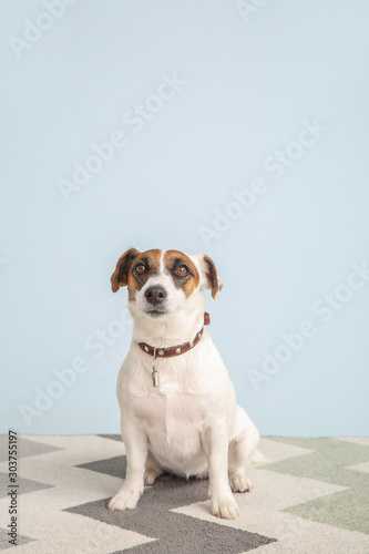 Cute Jack Russell Terrier on color background - 303755197