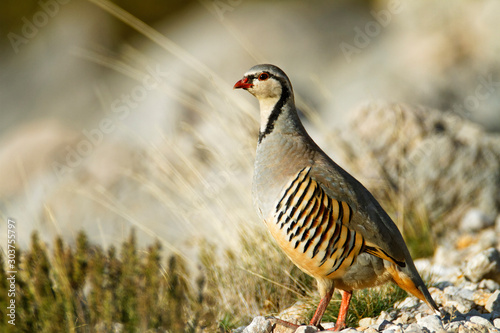Stampa su Tela The rock partridge from Velebit mountain, Croatia
