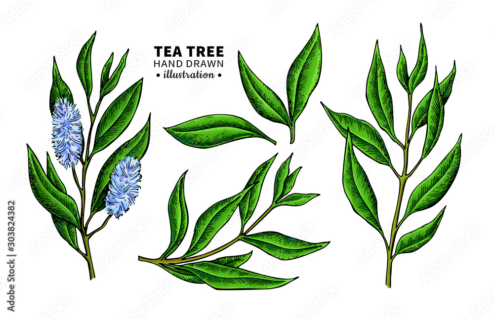 Fototapety, obrazy: Tea tree vector drawing. Isolated vintage illustration of medical plant