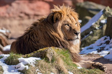 Lazy Lion Sitting On A Rock An...