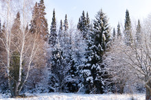 Snow Covered Tree Branches In ...