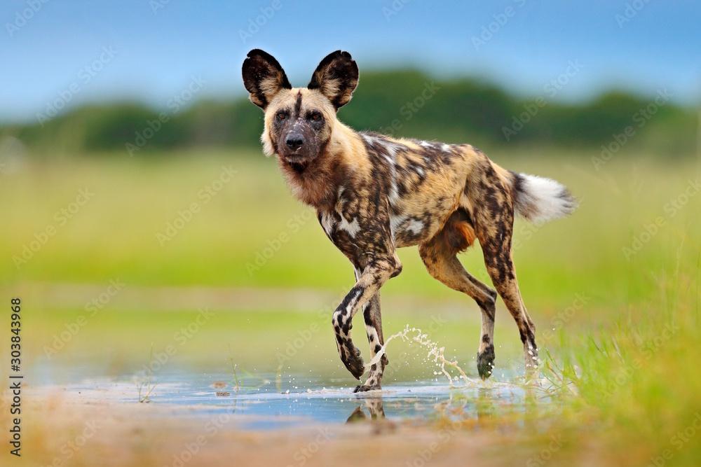 Fényképezés Wild dog, walking in the green grass with water, Okavango delta, Botswana in Africa