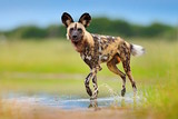 Wild dog, walking in the green grass with water, Okavango delta, Botswana in Africa. Dangerous spotted animal with big ears. Hunting painted dog on African safari. Wildlife scene from nature.