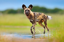 Wild Dog, Walking In The Green...