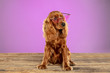 canvas print picture - Stylish. English cocker spaniel young dog is posing. Cute playful brown doggy or pet is sitting on wooden floor isolated on purple background. Concept of motion, action, movement, pets love.