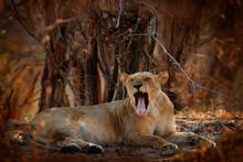 Lion Face, Open Muzzle Detail ...
