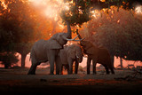 Fototapeta Zwierzęta - Elephant feeding feeding tree branch. Elephant at Mana Pools NP, Zimbabwe in Africa. Big animal in the old forest. evening light, sun set. Magic wildlife scene in nature.