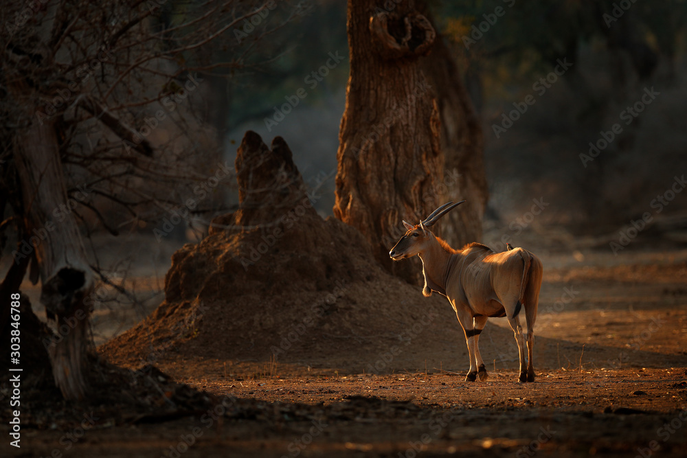 Fototapety, obrazy: Eland anthelope, Taurotragus oryx, big brown African mammal in nature habitat. Eland in green vegetation, Kruger National Park, South Africa. Wildlife scene from nature, evening sunset.