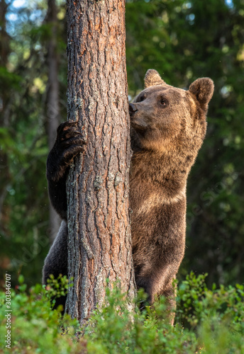Brown bear stands on its hind legs by a tree in a pine forest. Adult Male of Brown bear in the autumn pine  forest. Scientific name: Ursus arctos. Natural habitat. #303846707