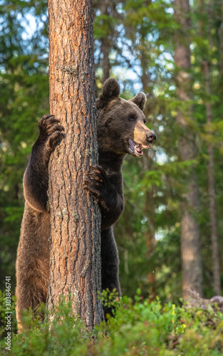 Brown bear stands on its hind legs by a tree in a pine forest. Adult Male of Brown bear in the autumn pine  forest. Scientific name: Ursus arctos. Natural habitat. #303846741