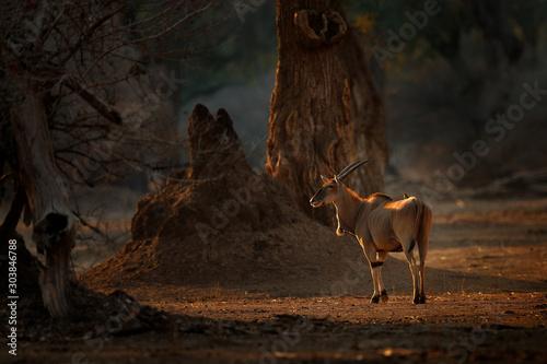 Obraz Eland anthelope, Taurotragus oryx, big brown African mammal in nature habitat. Eland in green vegetation, Kruger National Park, South Africa. Wildlife scene from nature, evening sunset. - fototapety do salonu