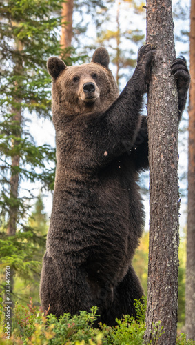 Brown bear stands on its hind legs by a tree in a pine forest. Adult Male of Brown bear in the autumn pine  forest. Scientific name: Ursus arctos. Natural habitat. #303846960