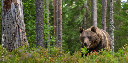 Adult Male of Brown bear in the forest. Scientific name: Ursus arctos. Natural habitat. #303846999