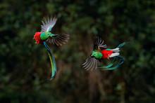 Quetzal, Pharomachrus Mocinno,...