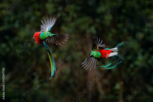 Fotografía Quetzal, Pharomachrus mocinno, from tropic in Costa Rica with green forest, two birds fly fight