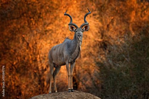 Photo Greater kudu, Tragelaphus strepsiceros,  handsome antelope with spiral horns, sunset light