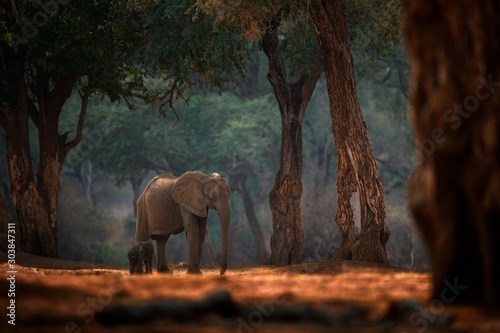 elephant-baby-elephant-at-mana-pools-np-zimbabwe-in-africa-big-animal-in-the-old-forest-evening-light-sun-set-magic-wildlife-scene-in-nature-african-elephant-in-beautiful-habitat-young-pup