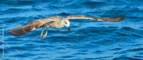 Flying  Juvenile Kelp gull (Larus dominicanus), also known as the Dominican gull and Black Backed Kelp Gull. Blue water of the ocean Background. False Bay, South Africa #303849385