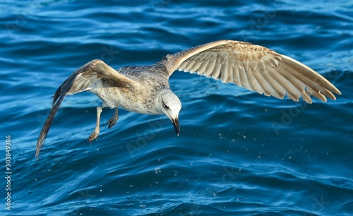 Flying  Juvenile Kelp gull (Larus dominicanus), also known as the Dominican gull and Black Backed Kelp Gull. Blue water of the ocean Background. False Bay, South Africa #303849386