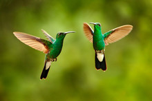 Green Hummingbird From Colombia, Green Bird Flying Next To Beautiful Red Flower, Action Feeding Scene In Green Tropical Forest, Animal In The Nature Habitat.