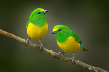 Cute Birds. Beautiful Tanager Blue-naped Chlorophonia, Chlorophonia Cyanea, Exotic Tropical Green Songbird From Colombia. Wildlife From South America. Birdwatching In Colombia. Two Animals On Branch.