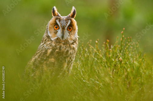 Obraz Owl in green. Long-eared Owl sitting in green vegetation in the fallen larch forest during dark day. Wildlife scene from the nature habitat.  Face portrait with orange eyes, Czech, Europe. - fototapety do salonu