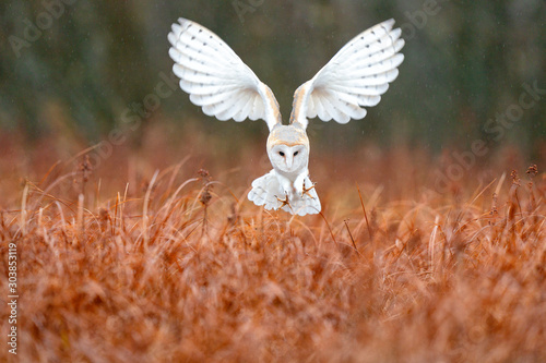 Owl landing fly with open wings. Barn Owl, Tyto alba, flight above red grass in the morning. Wildlife bird scene from nature. Cold morning sunrise, animal in the habitat. Bird in the forest.