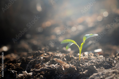 Obraz Growing plant,Young plant in the morning light on ground background, New life concept.Small plants on the ground in spring.fresh,seed,Photo fresh and Agriculture  concept idea. - fototapety do salonu