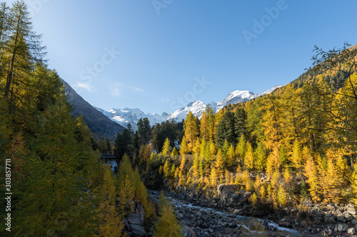 Fototapety, obrazy: Morteratsch station with view to Morteratsch glacier valley in autumn with golden larch forest and blue sky