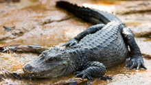 Chinese Alligator Snoozing On ...