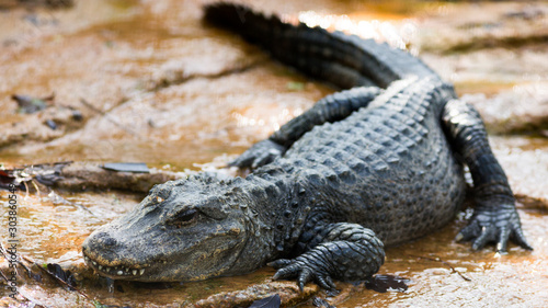 chinese alligator snoozing on a river bank Canvas Print