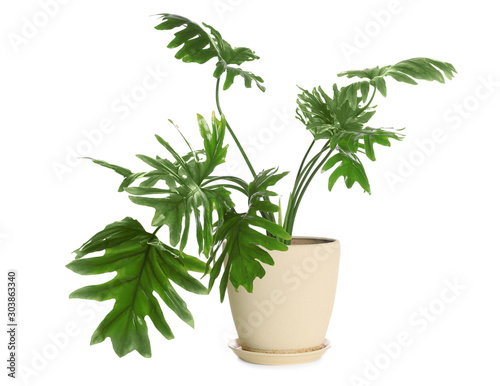 Obraz na plátně Pot with Philodendron selloum plant isolated on white. Home decor