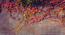 Climbing Grape Plant With Red ...
