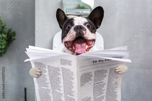 Obraz na płótnie French bulldog with crazy smile is sitting on a toilet seat with the newspaper